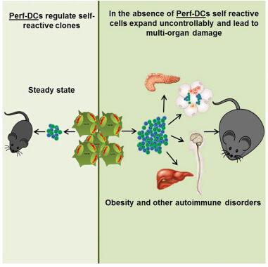 缺乏树突状细胞的动物不会发生肥胖和代谢综合症表现.