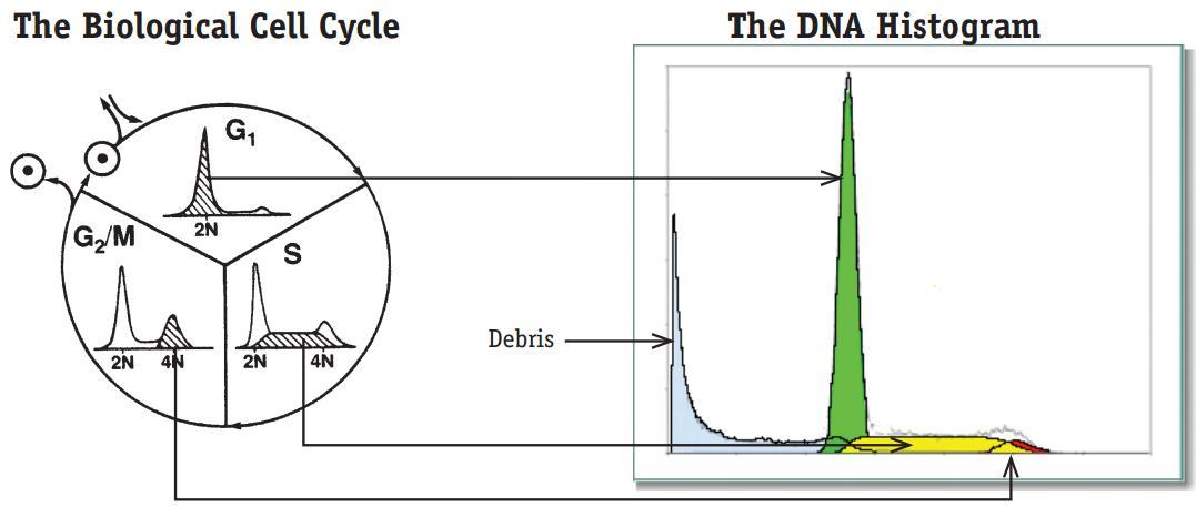 一、背景知识介绍 细胞周期就是从细胞分裂产生的新细胞生长开始,到下一次细胞分裂形成子细胞结束为止所经历的过程,主要分为G0期、G1期、S期、G2期和M期。G0期细胞是指处于相对静止时期的细胞,是二倍体细胞,含有二倍体量的DNA;G1期即合成前期,此时细胞在为下一次有丝分裂准备DNA合成所需的各种物质和能量等,细胞仍为二倍体;S期即DNA合成期,DNA的量经过复制增加一倍,所以S期细胞内的DNA处于从二倍体量到四倍体量的连续增加过程;G2期即DNA合成后期,此时DNA合成已完成,细胞为四倍体;M期即细胞分裂